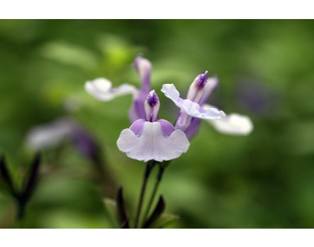"Salvia greggii ""Syringa Blues"""