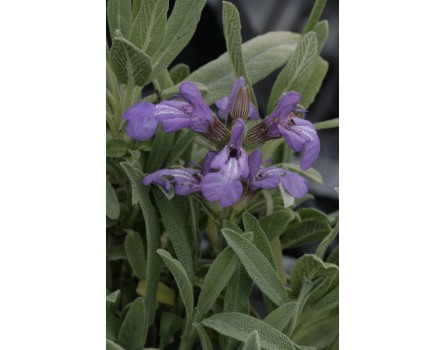 Spanische Salbei (Salvia lavandulifolia)