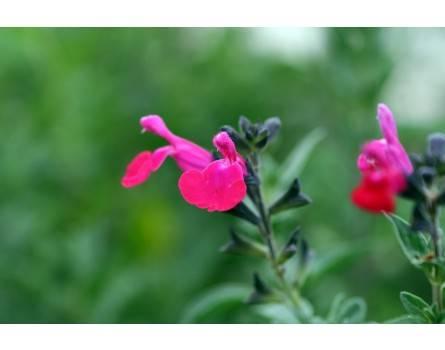 Schwarze Johannisbeeren-Salbei (Salvia microphylla)