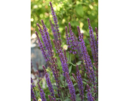 "Salbei-Auslese (Salvia nemorosa ""Caradonna"")"
