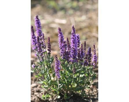 "Steppensalbei-Auslese (Salvia nemorosa ""Merlot Bleue"")"