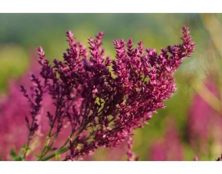 """Steppensalbei Pusztaflamme (Salvia nemorosa """"Plumosa"""")"""