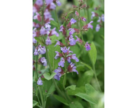 Küchensalbei / Gartensalbei (Salvia officinalis)