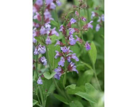 Küchensalbei (Salvia officinalis)