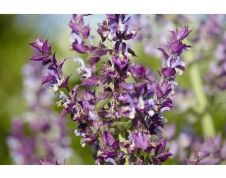 """Muskatellersalbei (Salvia sclarea """"Piemont"""")"""