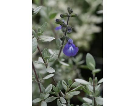 Thymianblättriger Salbei (Salvia thymoides)