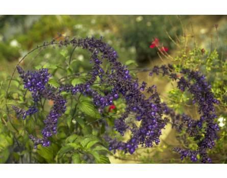 "Indigo-Salbei (Salvia x ""Blue Indigo Spires"")"