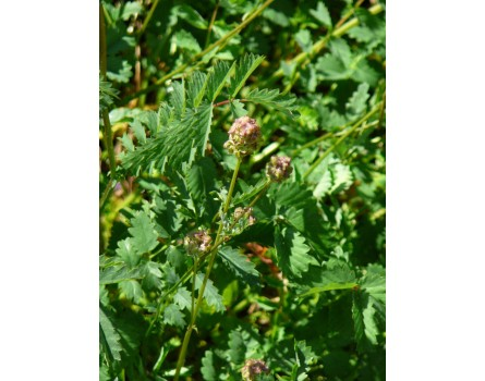 Pimpinelle (Sanguisorba minor)