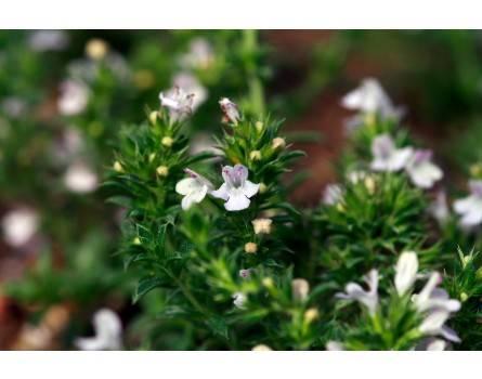 Satureja x montana var. citriodora 'Limoncello' (Zitronenbohnenkraut 'Limoncello')