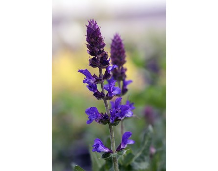 Salvia nemorosa 'Blue Marvel' (Steppensalbei 'Blue Marvel')