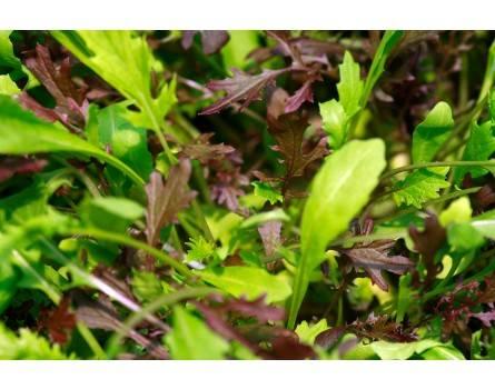 """Schnittsalatmischung """"Kräusel-Blatt"""" (Saatgut) (Brassica rapa-Mischung)"""