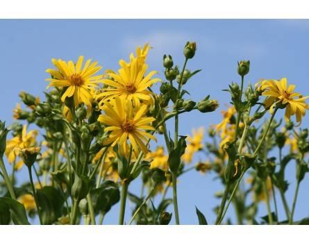 Durchwachsene Silphie (Silphium perfoliatum)