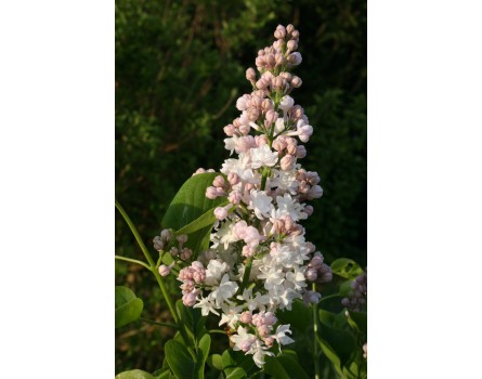 Syringa vulgaris 'Beauty of Moscow' (Edelflieder 'Beauty of Moscow')
