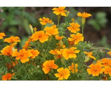 """Gewürz-Tagetes (Tagetes tenuifolia """"Orange Gem"""")"""