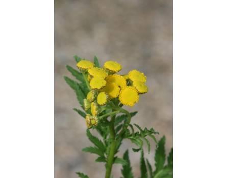Tanacetum vulgare (Rainfarn)