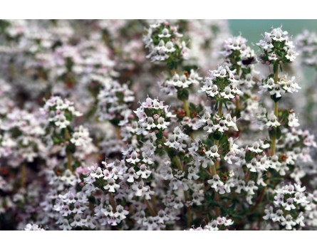 Limonen-Thymian (Thymus fragrantissimus 'Limone')