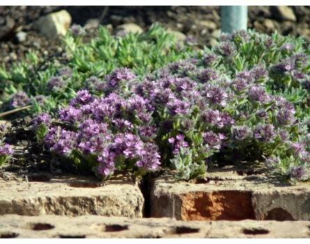 Silbriger Stein-Thymian (Thymus leucotrichus ssp. neiceffii)