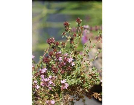 Kümmelthymian (Thymus herba-barona)