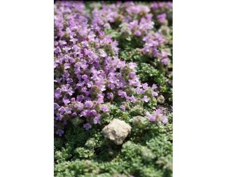 "Polsterthymian (Thymus praecox ssp. articus ""Minor"")"