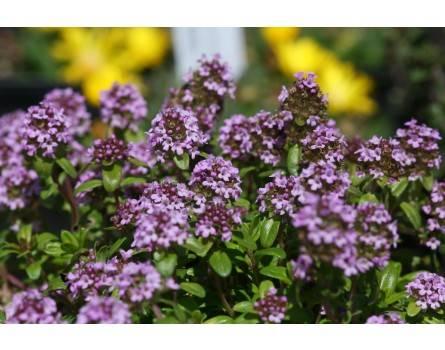 Quendel (Thymus pulegioides)