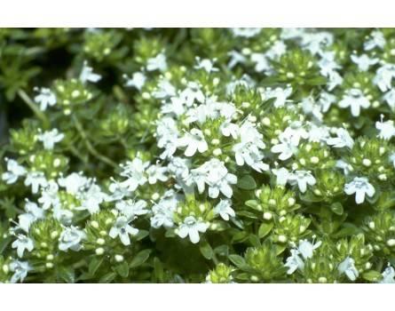 "Thymian-Auslese (Thymus serpyllum ""Albus"")"