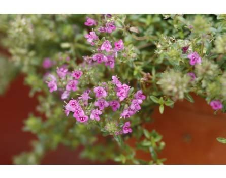 Sandthymian (Thymus serpyllum)