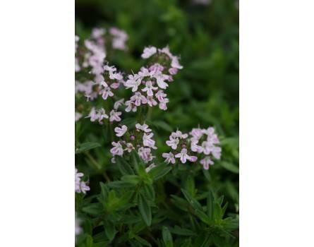 "Sandthymian (Thymus serpyllum ""Nice"")"