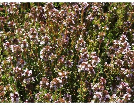 Küchenthymian (Thymus vulgaris)