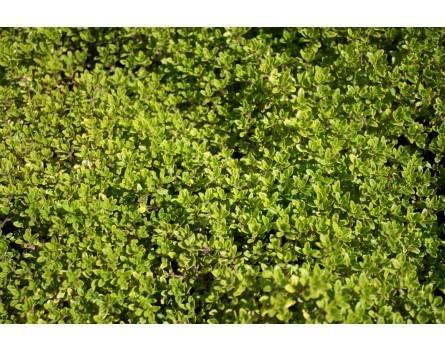 "Goldenteppich-Zitronenthymian (Thymus x citriodorus ""E.B.Anderson"")"