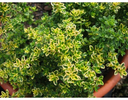 "Zitronenthymian (Thymus x citriodorus ""Villa Nova"")"