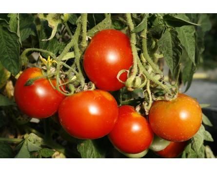 Tomate, Balkonzauber