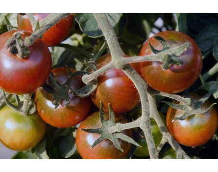 Tomate, Black Cherry (Bio-Saatgut)