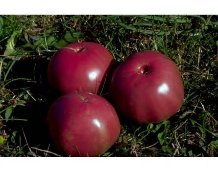 Tomate, Schwarze von der Krim (Bio-Saatgut)