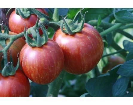 Tomate, Shimmeig Creg, runde Sorte (Bio-Saatgut)