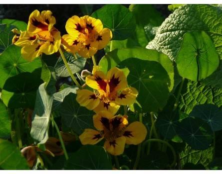 Kapuzinerkresse (Orchid Flame)