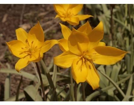 Wilde Tulpe (Tulipa sylvestris)