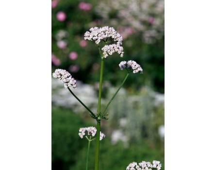 Gemeiner Baldrian (Valeriana officinalis)