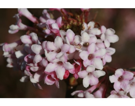 Winter-Duftschneeball (Viburnum x bodnantense)