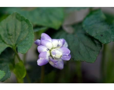 """Parma-Veilchen (Viola """"Duchesse de Parme"""")"""