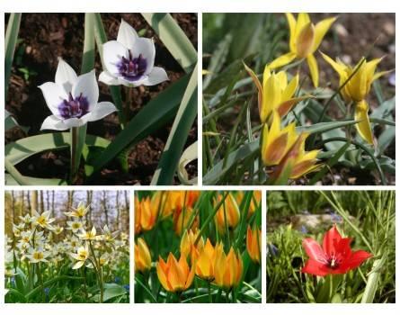 Wilde Tulpen für den Garten