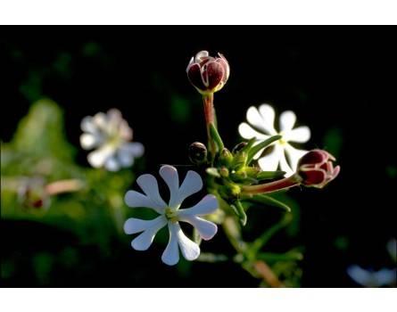 Nachtphlox / Sternbalsam (Zaluzianskya capensis)
