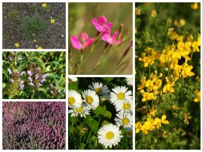 Mischung 09: Blumenrasen/Kräuterrasen