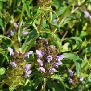Gewöhnliche Braunelle (Prunella vulgaris)