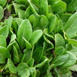 Wiesen-Sauerampfer (Rumex acetosa)
