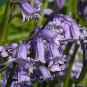 Hasenglöckchen (Hyacinthoides non-scripta)