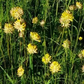 Echter Wundklee, Wildform (Anthyllis vulneraria)
