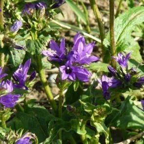 Büschelglockenblume (Campanula glomerata)