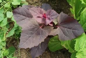 Rote Gartenmelde (Atriplex hortensis)