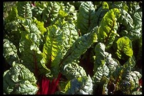 Mangold, Beißkohl, Römerkohl (Beta vulgaris var. cicla)