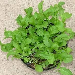 Rucola / Salatrauke (Eruca sativa)